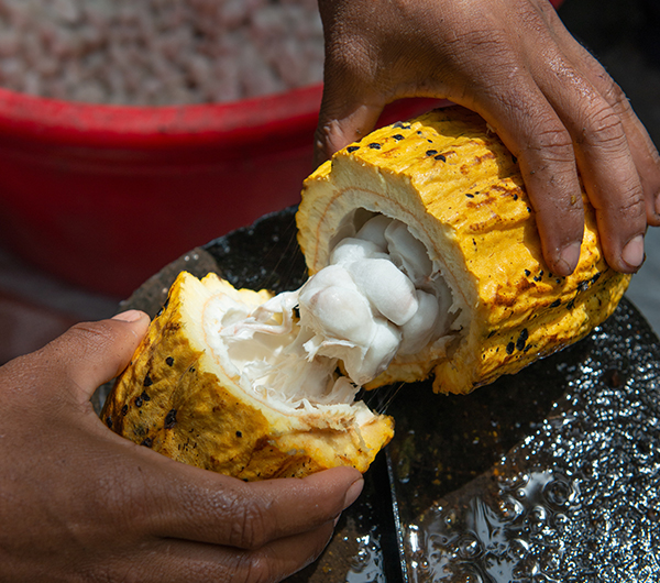 A yellow fruit is cut in half and contents are bring explored by a worker